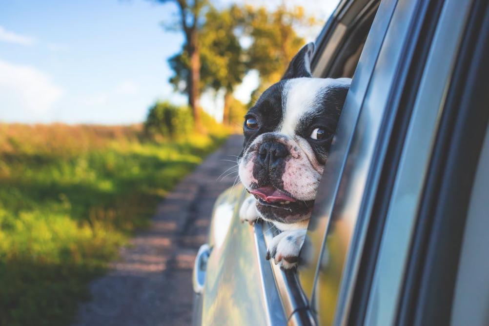 Sedili auto cane
