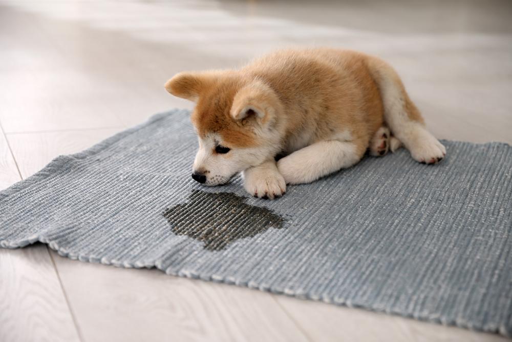 macchie pipì cane tappeto